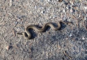 Käärme keräsi lämpöä keskiviikon auringosta Rivonmäellä.