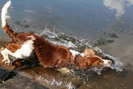 Molskis! Uiminen viilentää koiraa helteellä ja tarjoaa uudenlaista liikuntaa ja virkistystä.