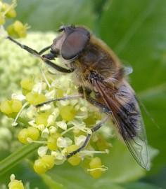 Allergia- ja astmaliiton mukaan paarmanpuremista tulee vain harvoin pahoja allergiareaktioita.