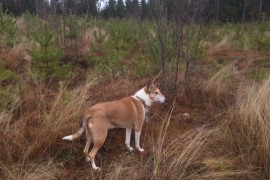Koiralle rakettien pauke voi olla hirvittävän stressaavaa.