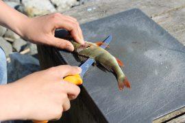Viljami fileoi itse kalansa, joko heti rannasa, veneessä tai kotona.