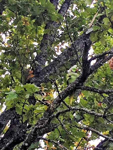 Vihreä papukaija viihtyy puussa, ja ainakin tammenterhot ovat kelvanneet sille ruuaksi.